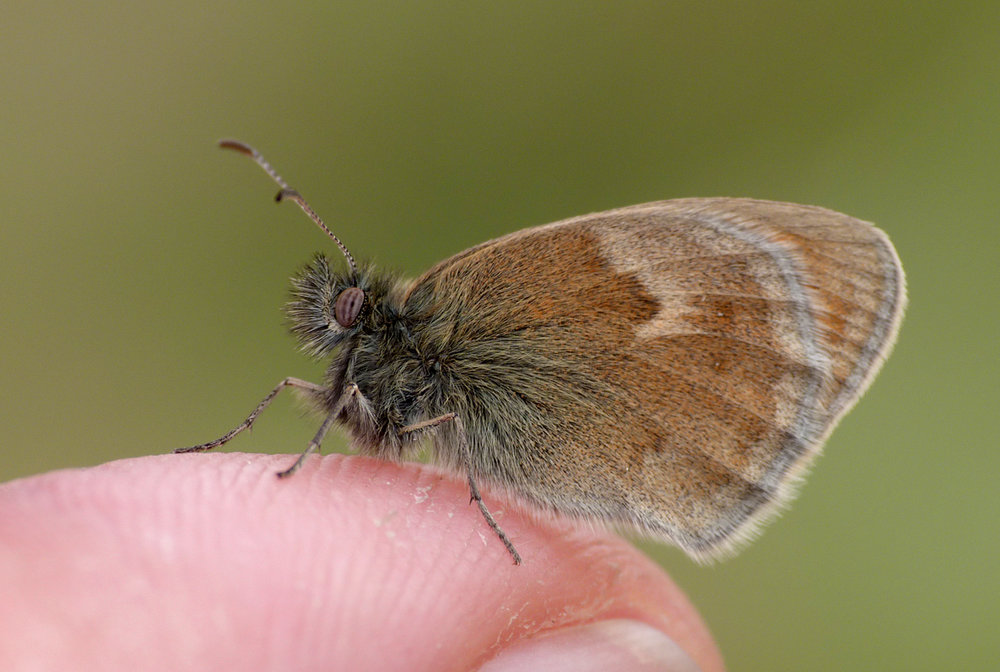 Small Heath, Chalet meadow, Vivario