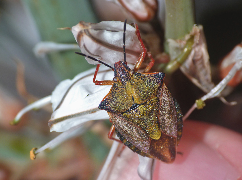 Carpocoris mediterraneus Shieldbug (or similar species), Chalet Meadow, Vivario