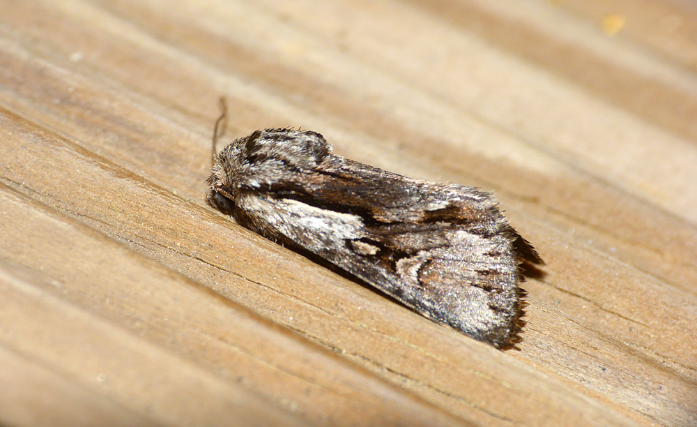 Pale-shouldered Cloud, U Sortipiani