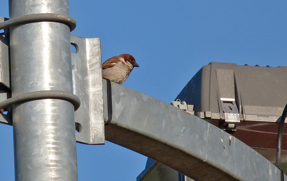 Male Italian Sparrow, Corte