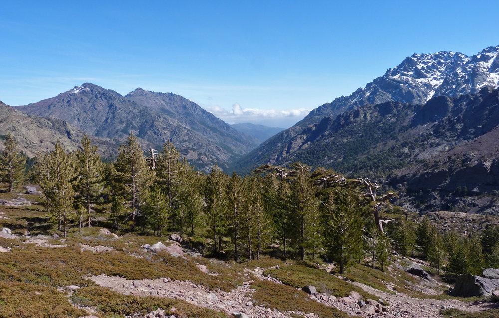 Haute Asco, the last of the pines
