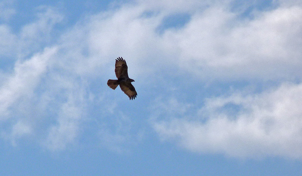 Common Buzzard, Aghione