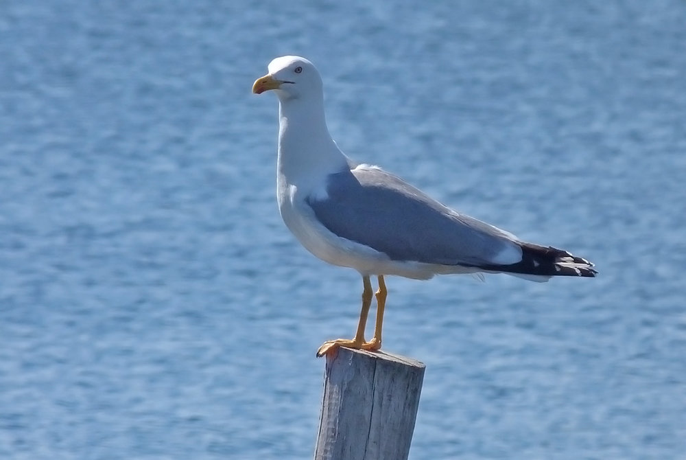 Yellow-legged Gull, Etang d'Urbino