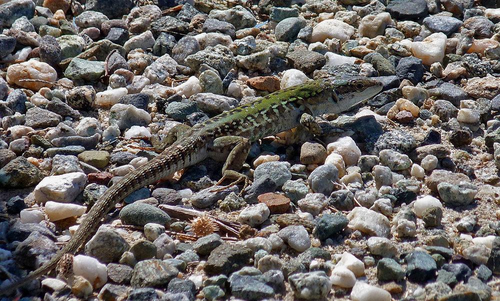 Italian Wall Lizard, Etang d'Urbino