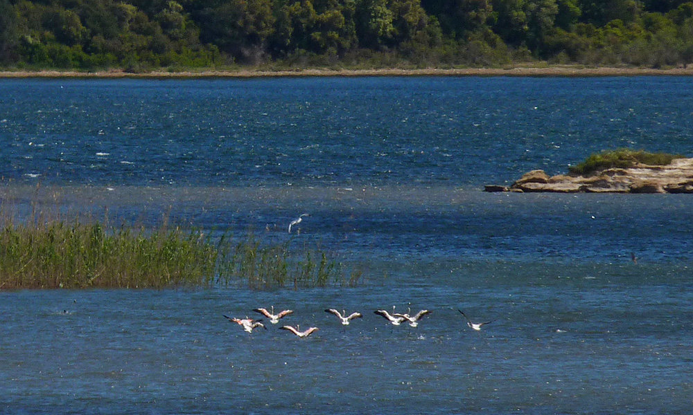 Flamingos, Etang d'Urbino