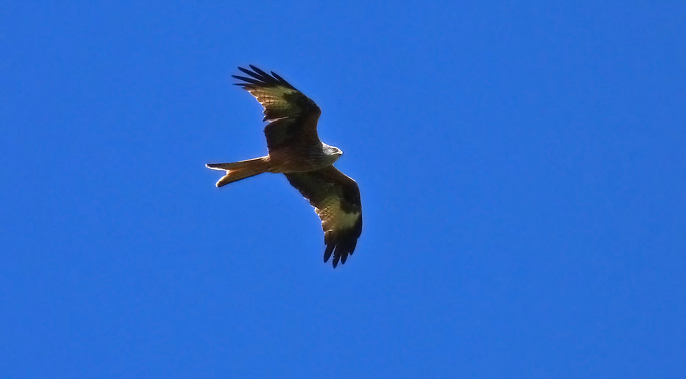 Red Kite, Aleria Fort
