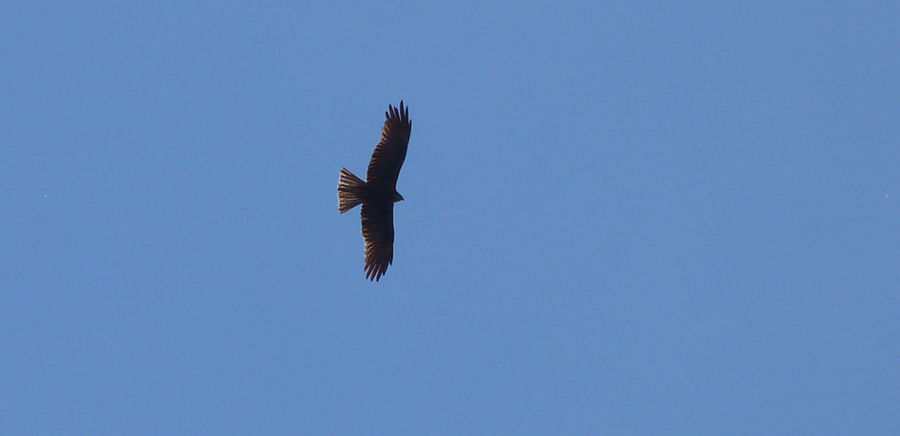 Black Kite, Aleria Fort