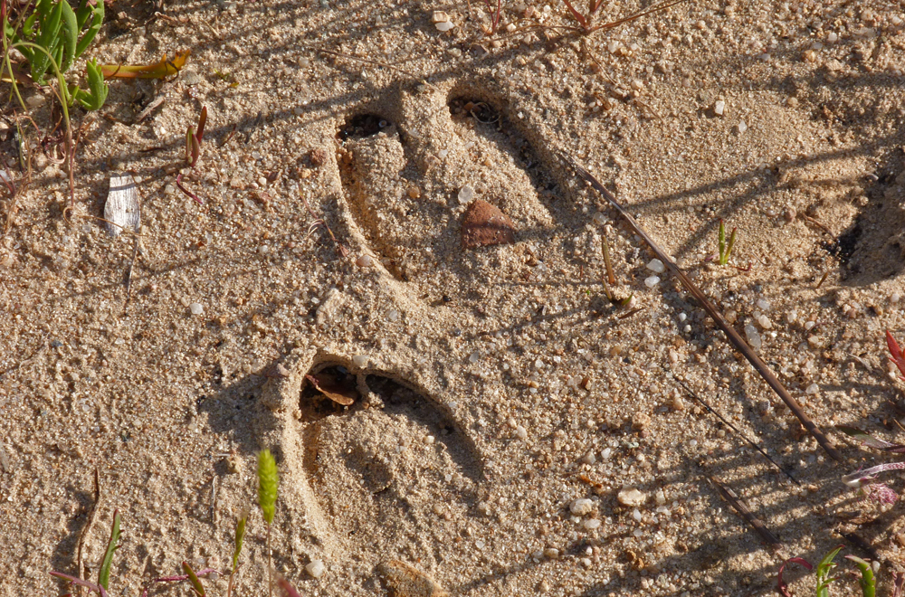 Wild Boar tracks - Riva Bella - the closest we got to seeing a boar (well, apart from covered in gravy on a plate)