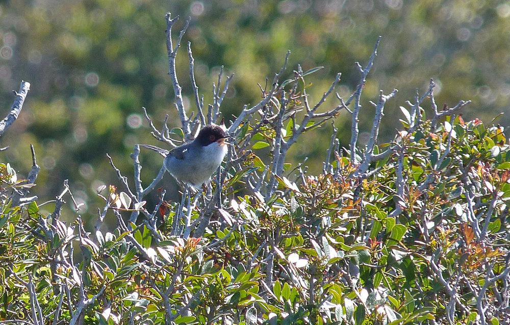 Sardinian Warbler, Bonifacio cliffs