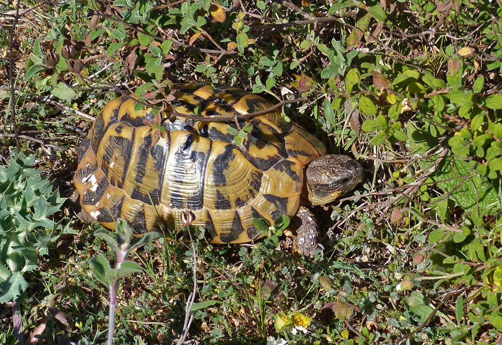 Hermann's Tortoise, Bonifacio Cliffs