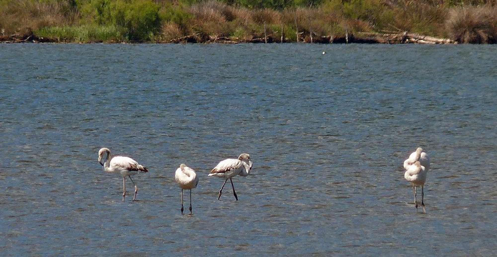 Greater Flamingos, Etang de Biguglia