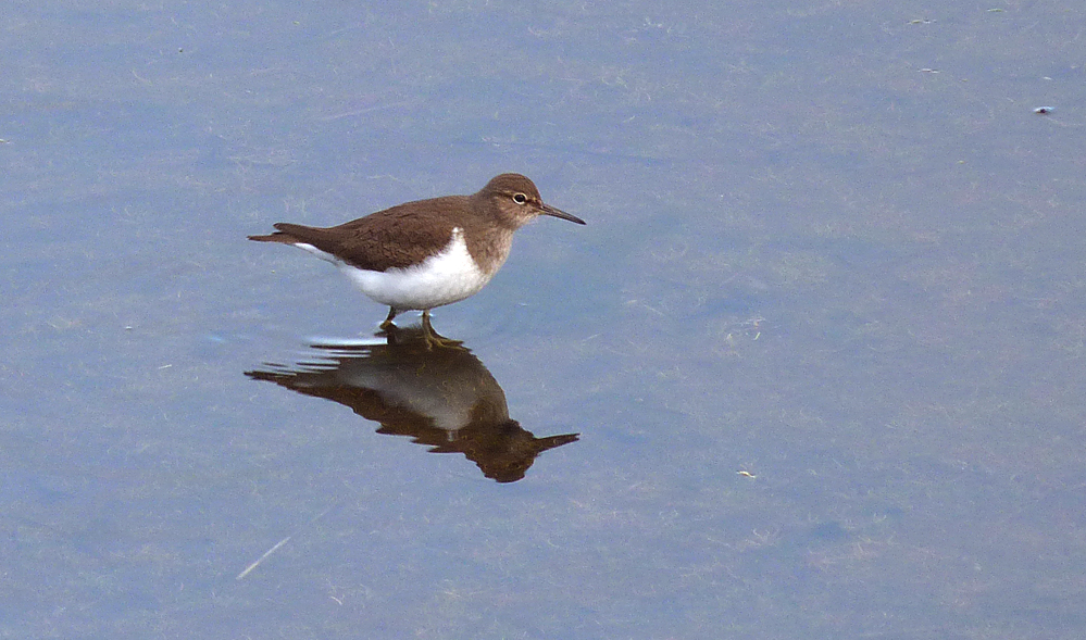 Common Sandpiper, Vale Pond, 1 May 17