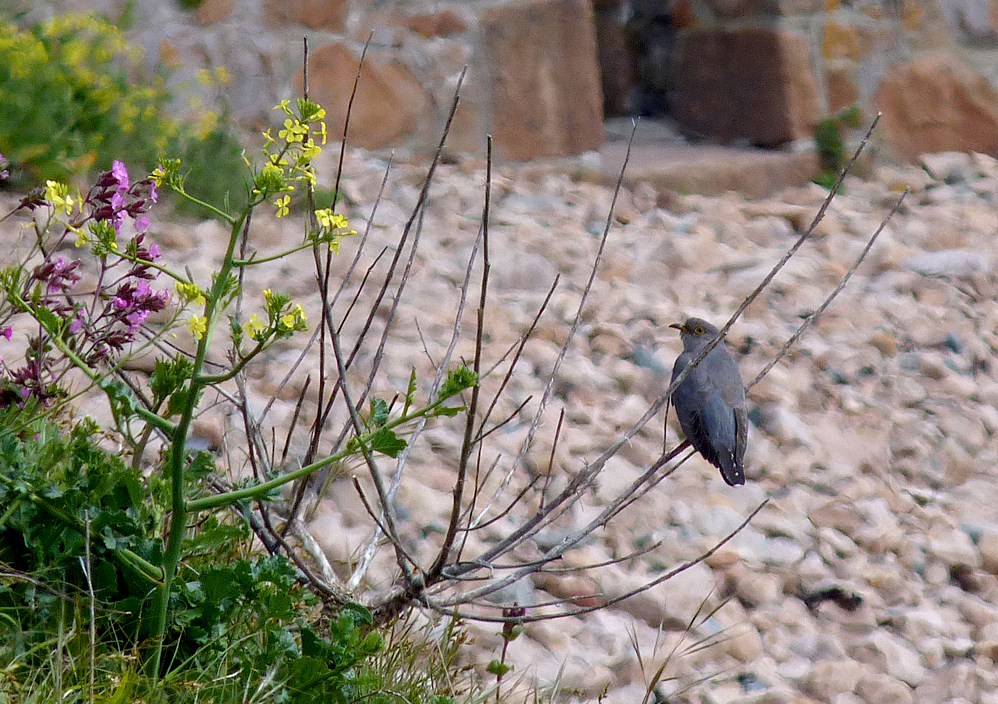 Cuckoo, Fort Hommet, 3 May 17