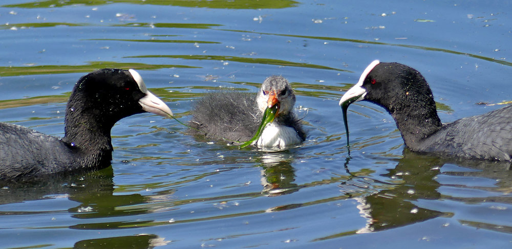 Coots - Rue des Bergers, 8 May 17