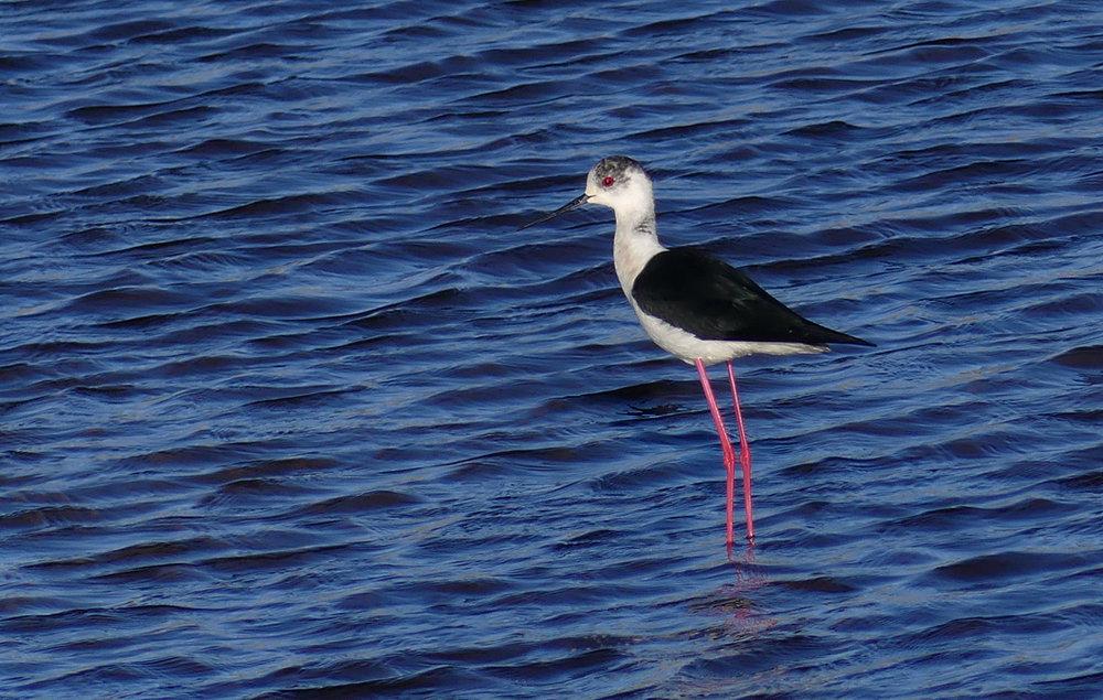 Black-winged Stilt - Claire Mare, 9 May 17