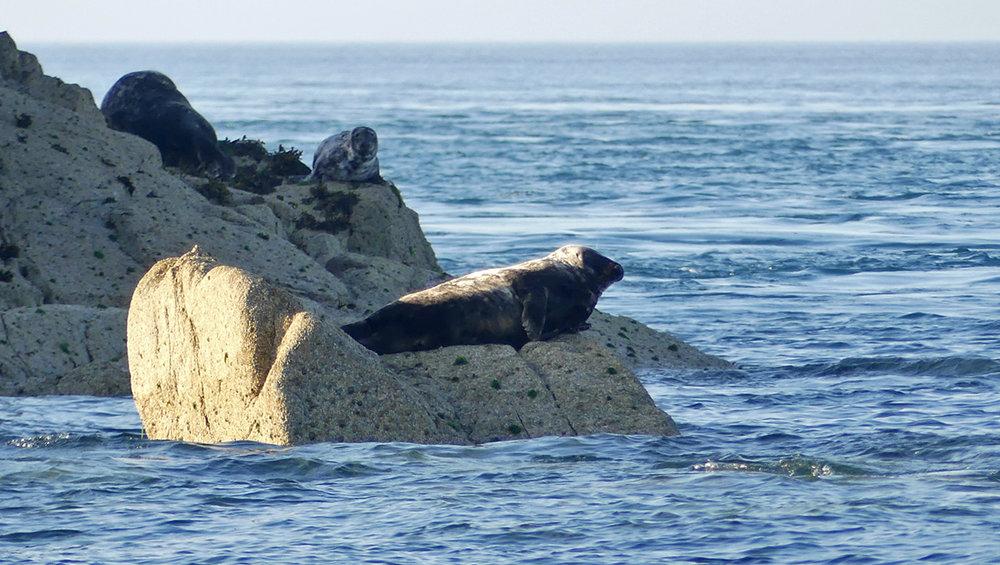 Grey Seals on the Humps - 1 Jun 17
