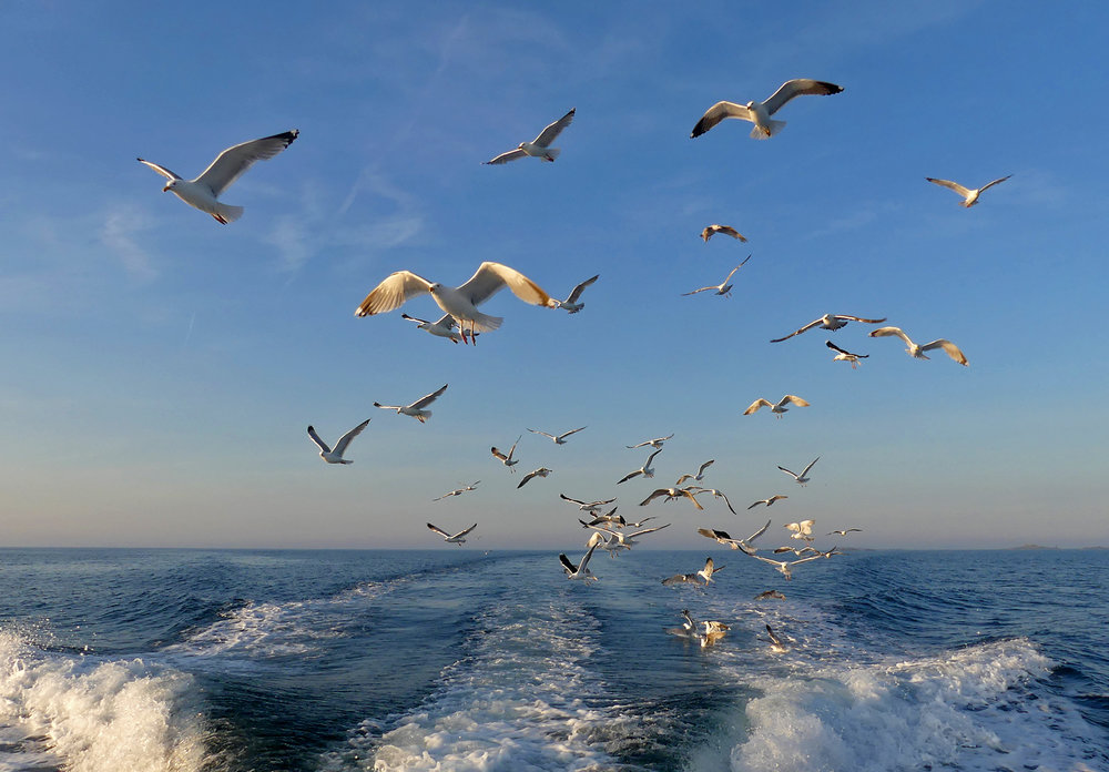 Gulls following the boat