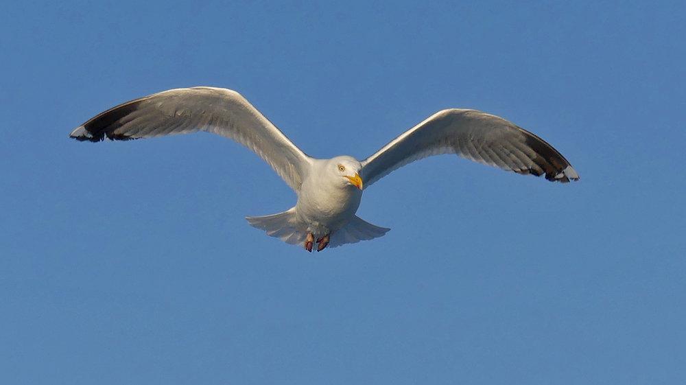 Herring Gull - nr the Humps - 1 Jun 17