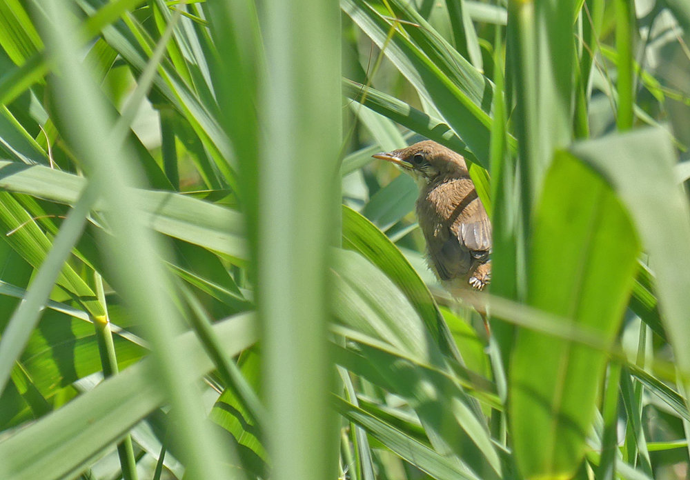 Reed Warbler youngster - Port Soif Nature Trail Pond, 13 Jun 17