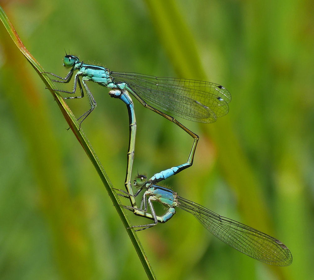 Blue-tailed Damselflies - Port Soif Nature Trail Pond, 13 Jun 17