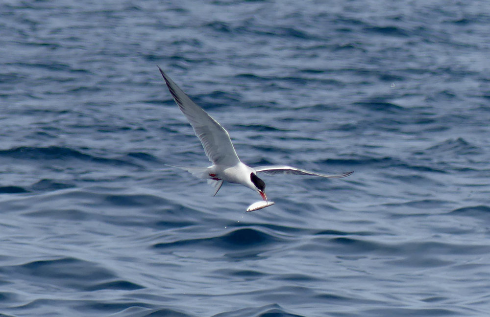 Common Tern - pelagic, 14 Aug 17