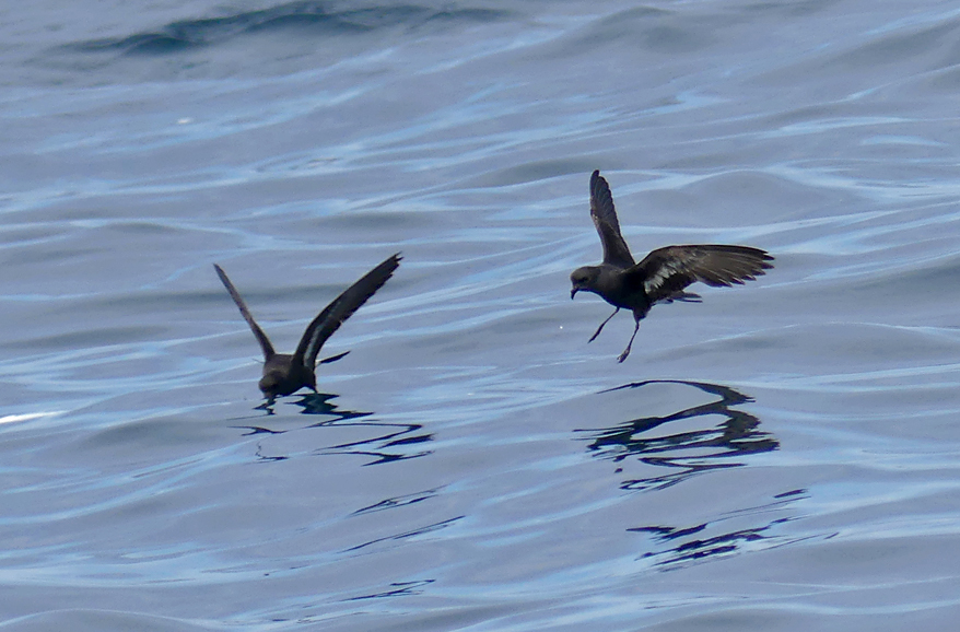 Storm Petrels - pelagic, 14 Aug 17
