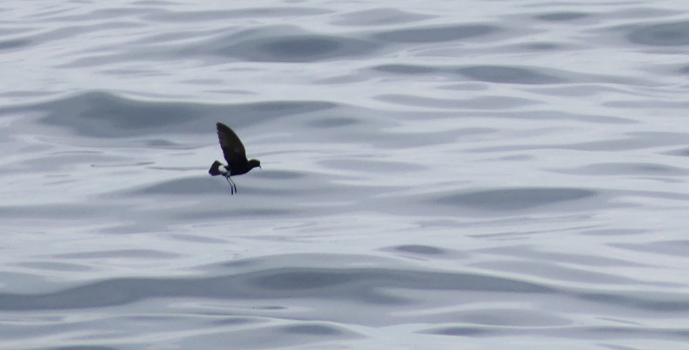 Wilsons Petrel - Hurd Deep, pelagic, 14 Aug 17 - showing the broad paddle-like wings and long, dangling legs.