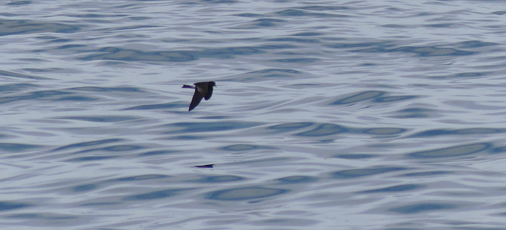 Wilsons Petrel - Hurd Deep, pelagic, 14 Aug 17 - this photo shows the upper wing bar rather well