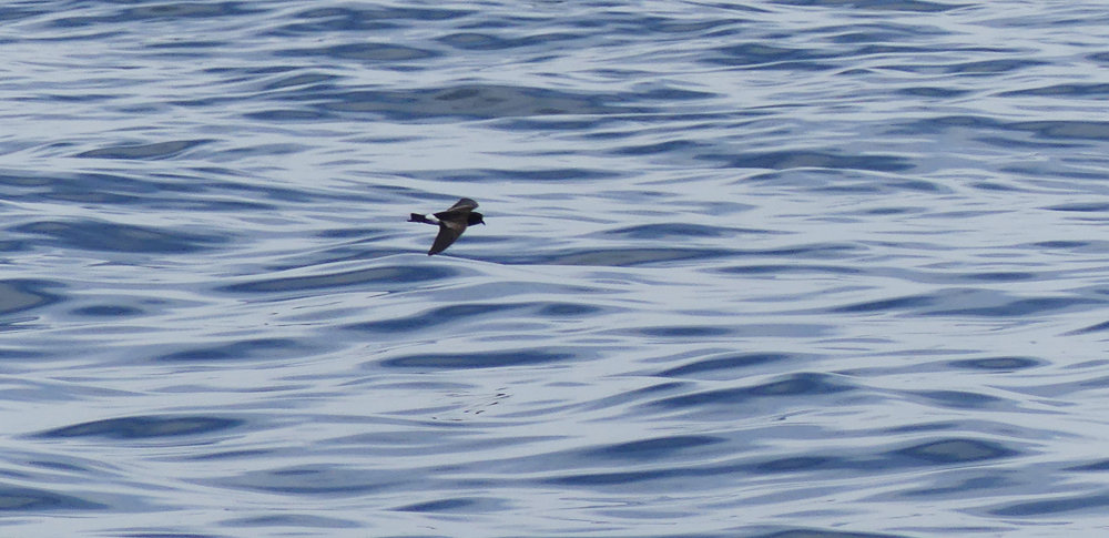 Wilsons Petrel - Hurd Deep, pelagic, 14 Aug 17