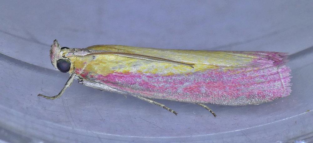 Oncocera semirubella - garden, 27Aug17