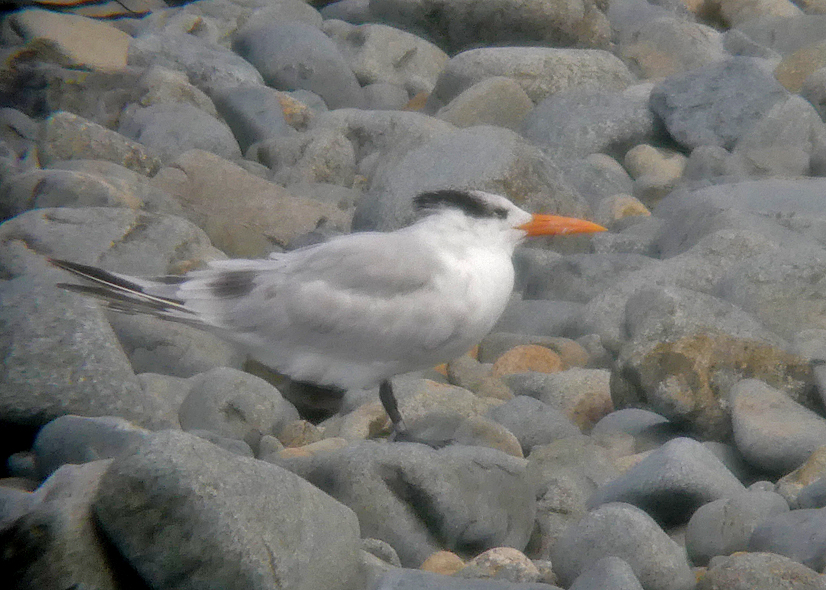 Royal Tern - Houmet Paradis, 16 Aug 17 a.jpg