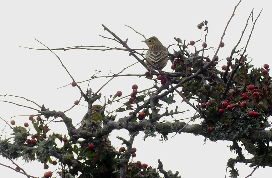Tree Pipits - Les Tielles, 22 Aug 17.jpg