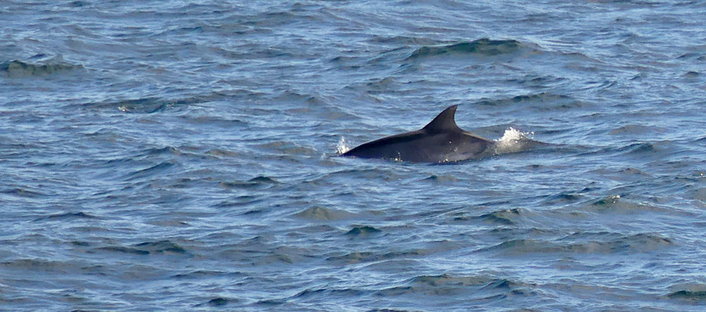 Bottle-nose Dolphin - Jaonneuse, 31 Aug 17