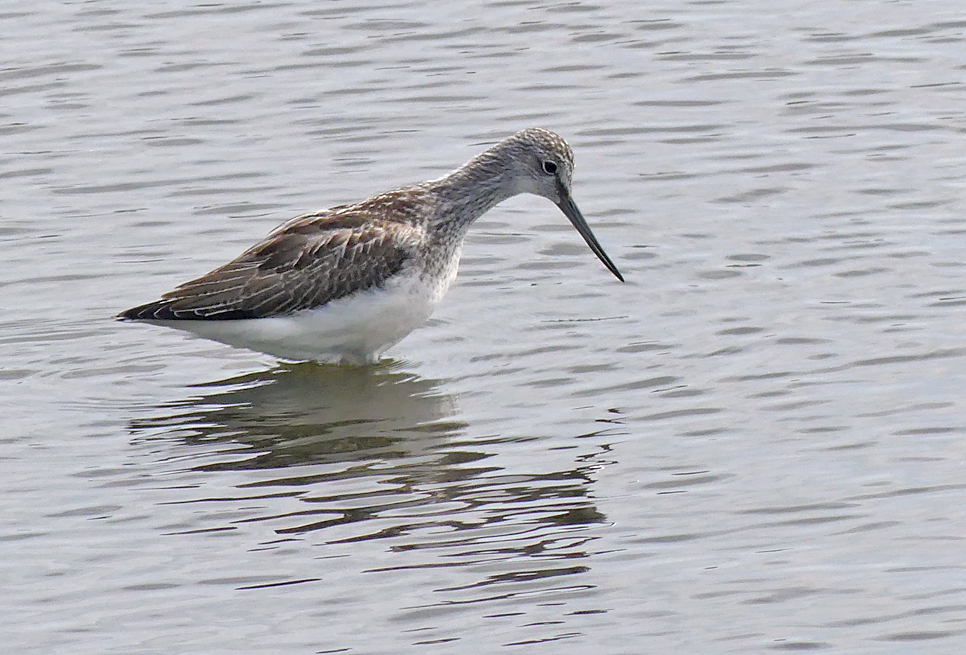 Greenshank - Claire Mare, 12 Sep 17