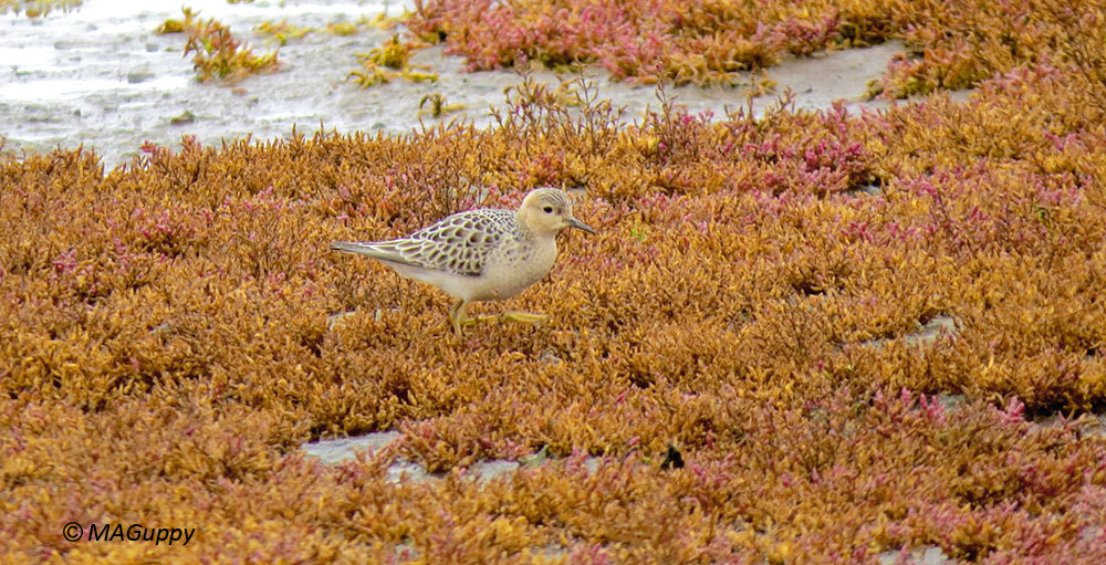 Buff-breasted Sandpiper, L'Eree, 9 Sep 17 [Mark Guppy]