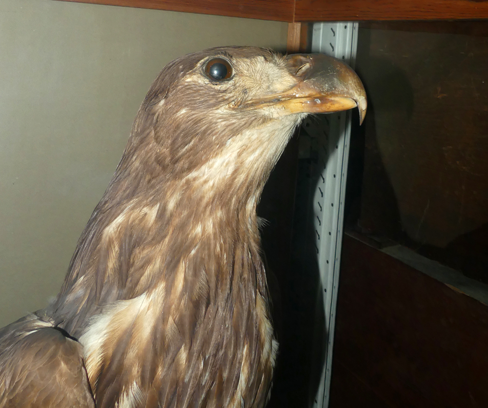 White-tailed Eagle specimen from Alderney, Guernsey Museum stores.