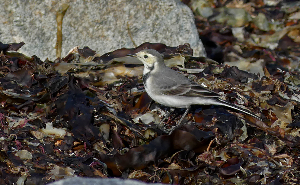 White Wagtail - Pulias 22 Sep 17