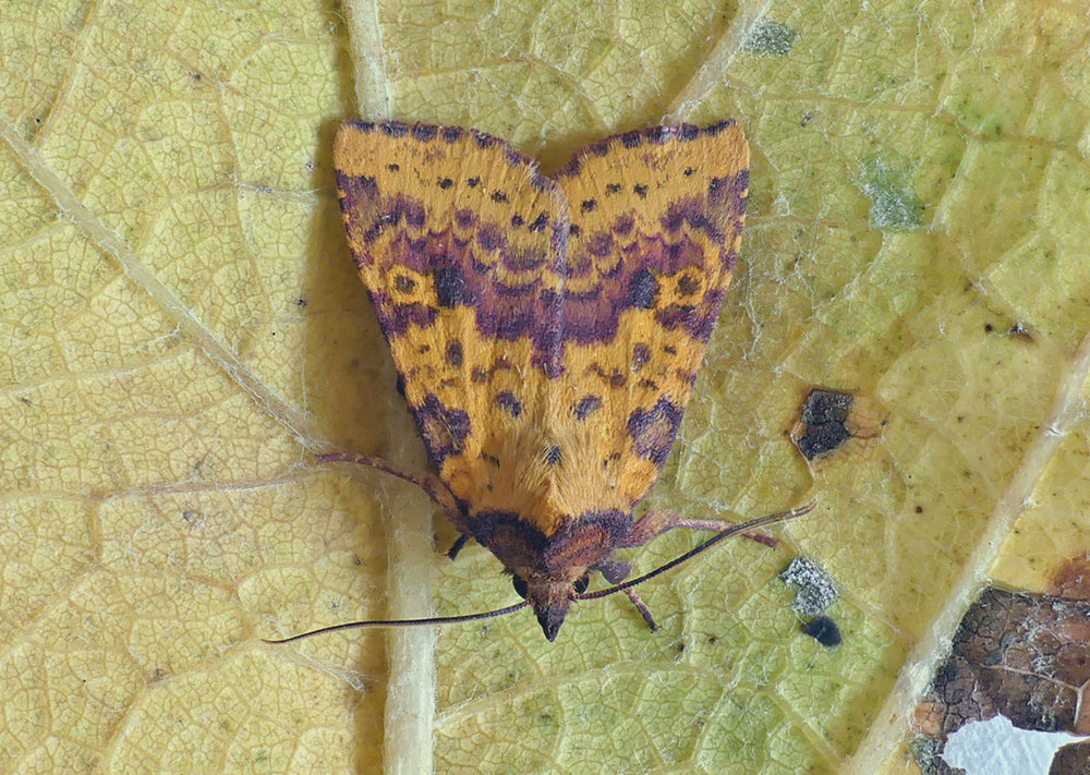 Pink-barred Sallow - garden, 23 Sep 17 - a new species of moth for me.