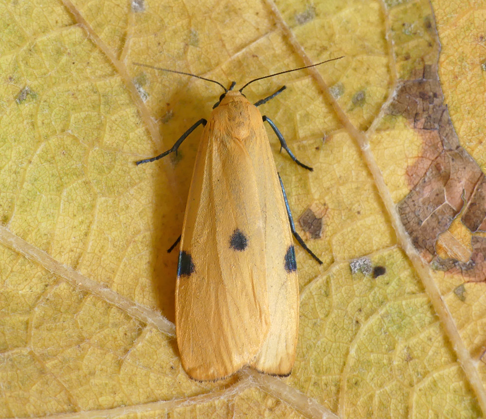 Four-spotted Footman - female, garden, 23 Sep 17