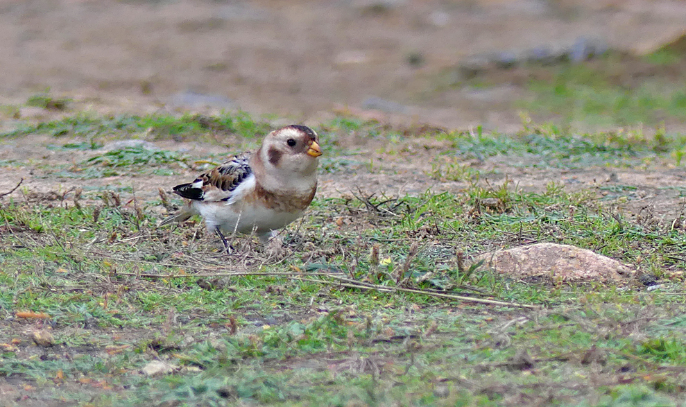 Snow Bunting - Fort Hommet, 9 Oct 17