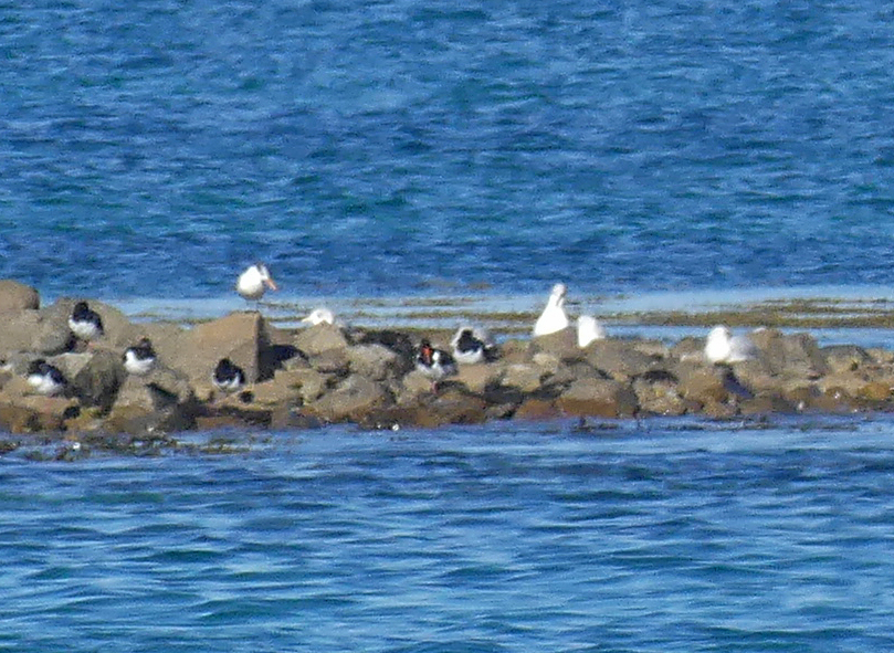 Royal Tern - Herm, 14 Oct 17