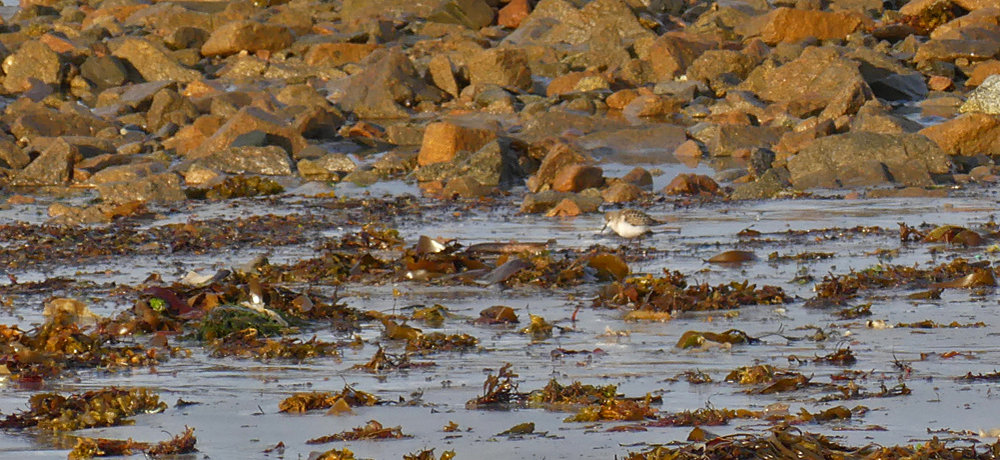 Little Stint - Vazon, 18 Sep 17