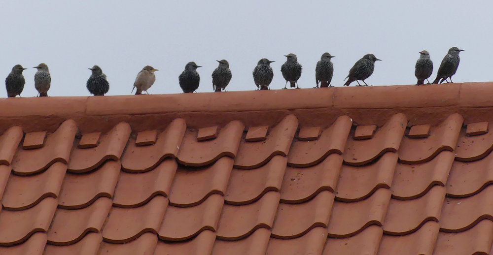 Rose-coloured Starling - Pleinmont, 27 Oct 17