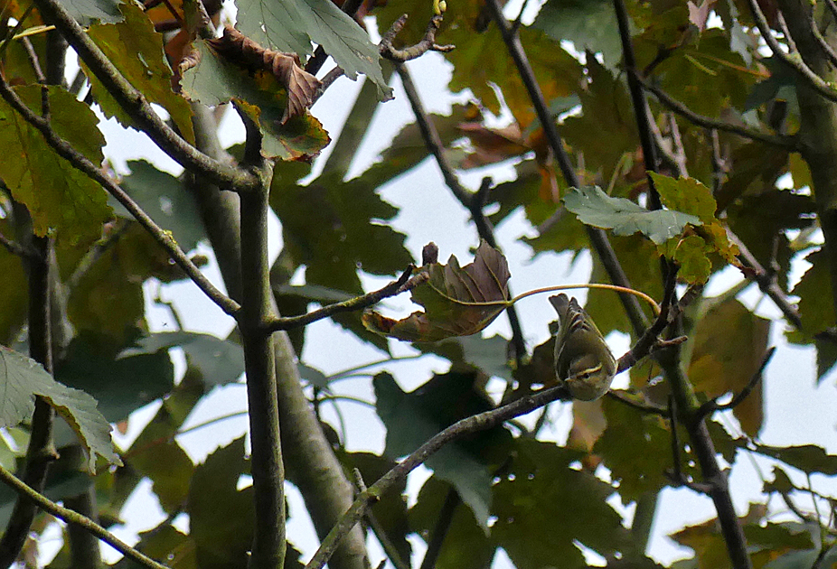 Yellow-browed Warbler - Le Guet, 20 Oct 17