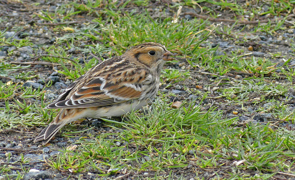 Lapland Bunting - Fort Le Crocq, 7 Nov 17