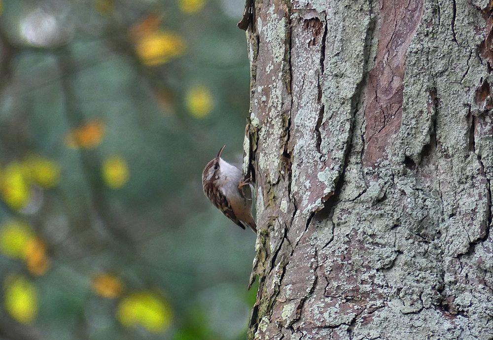 Short-toed Treecreeper - Foulon Cemetery, 2 Dec 17
