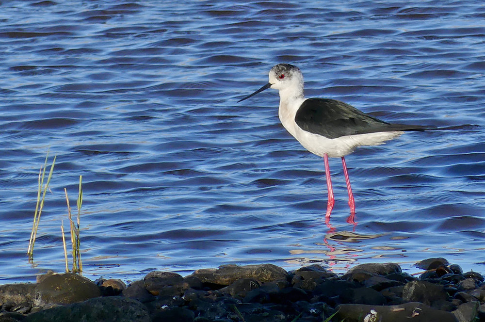 Black-winged Stilt CM 9May17 e copy.jpg