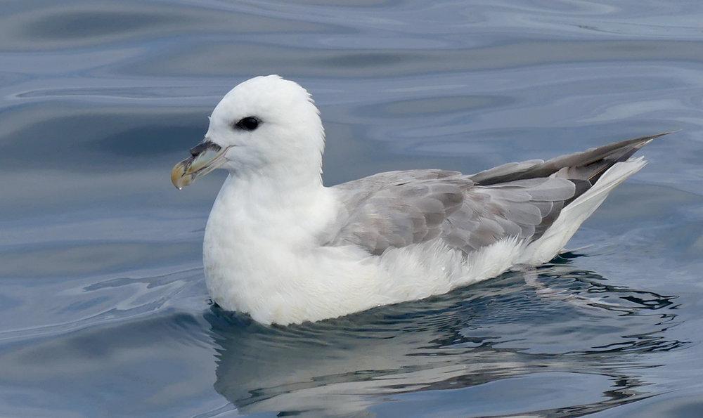 Fulmar pelagic 14Aug17 a.jpg