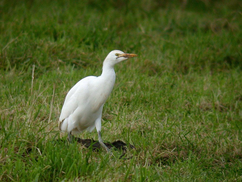 Cattle Egret   , Rue des Rocquettes, St. Andrews