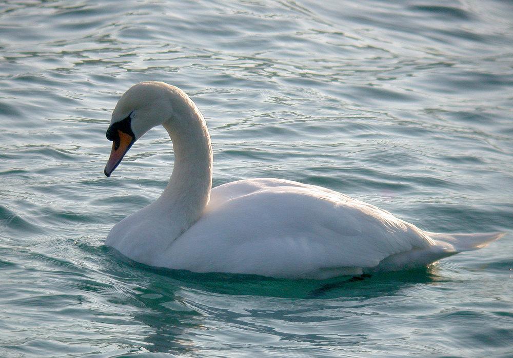 Mute Swan Havelet 7Mar11 a ps.jpg